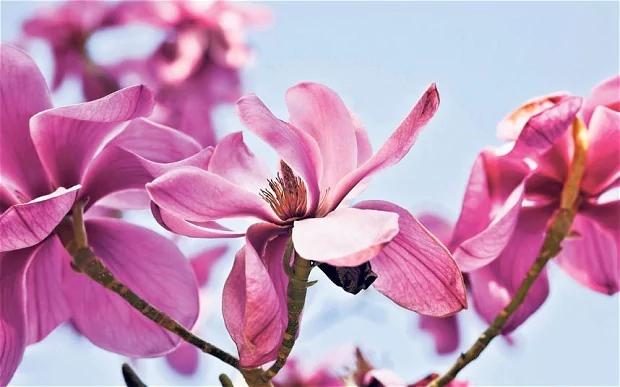 magnolias_2850759b